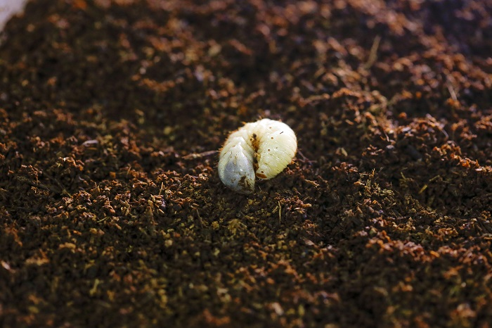 Researchers Develop Low-cost Food Source for White Grubs