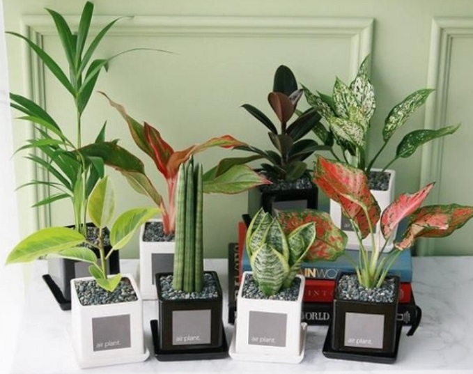 Money trees, spearflowers, sago palms, staghorn ferns, and gold crests were particularly effective against fine dust. (image: Gmarket)