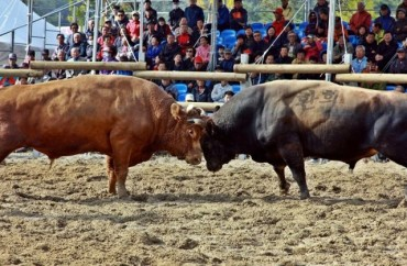 Is Jeongeup's Bullfighting Animal Cruelty or Traditional Culture?