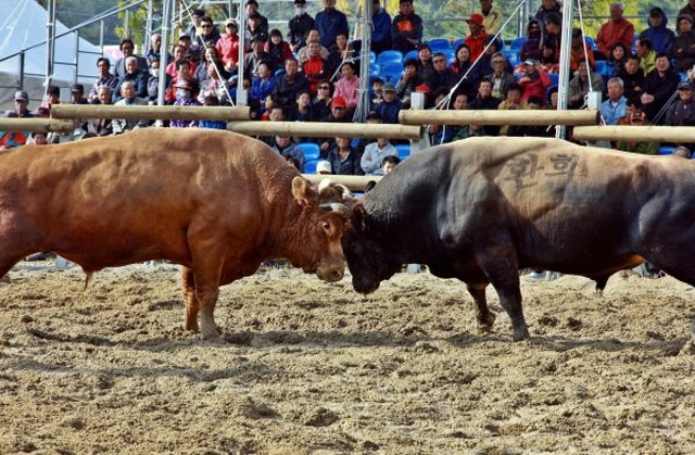 The government allows bull fights by law, unlike chicken or dog fights, and also bullfights play a role in tourism. (image: Jeongeup City Office)