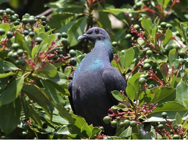 Pigeon on S. Korean Island Confirmed to Have Wintered on Japanese Island