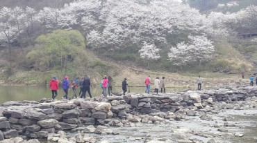 Cherry Blossoms Provide Scenic Backdrop for 1,000-year-old Bridge