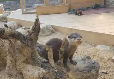 Outdoor Exhibition of Baby Otters at Danuri Aquarium