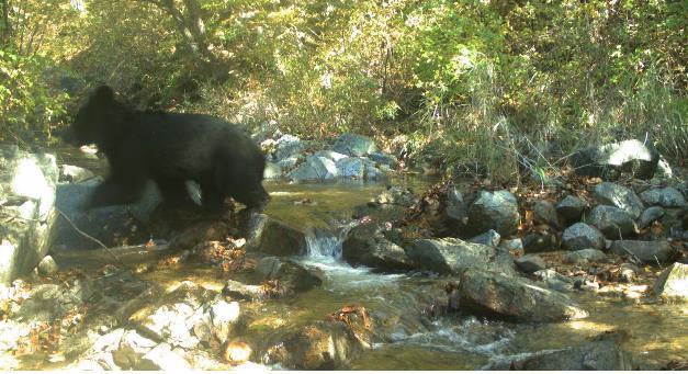 Endangered Black Bear Photographed in DMZ