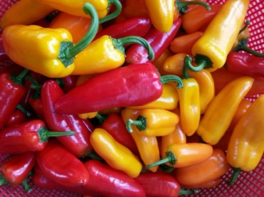 Mini Peppers Give New Opportunities to S. Korean Farms