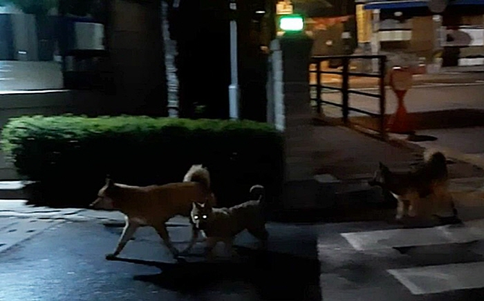 Wild dogs roaming around a residential area in Uijeongbu, north of Seoul. (Yonhap)