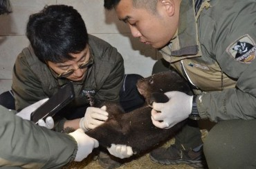 Artificial Insemination Boosts Genetic Diversity of Asiatic Black Bears