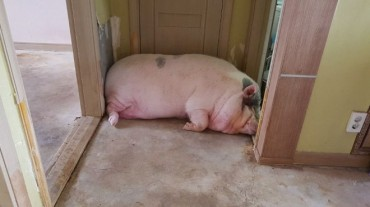 Andong Officials to Rescue Pet Pig Weighing 300 kg