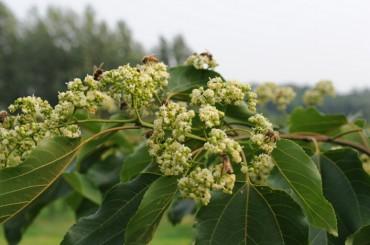 Korea Forest Service Announces New Honey Plant Project