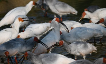 Crested Ibises Return to Wild in S. Korea 40 Years After Going Extinct