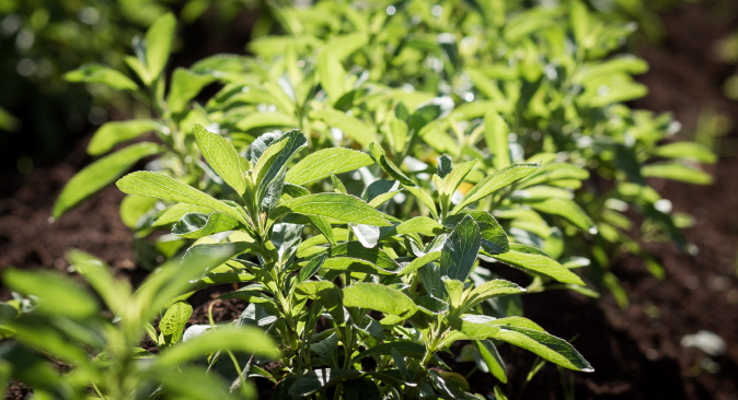 Stevia Use in Food and Beverages Accelerated Significantly in 2018