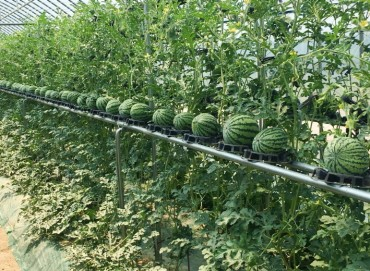 Researchers Focuses on Vertical Cultivation of Watermelon