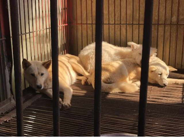 Gupo Dog Meat Market Shuts Down Early, Giving 53 Dogs a New Lease on Life