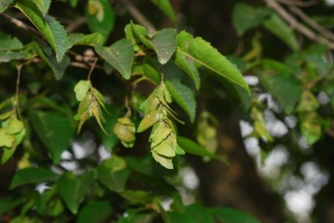 Extract of 'Gaeseoeonamu' Tree Good for Protecting Human Cells