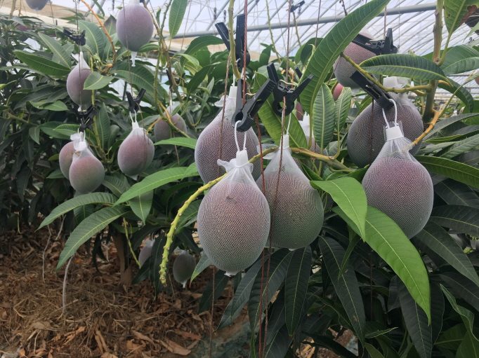 The county is using the waste heat from a nearby plant owned by Kumho Tire to heat up water that is then used to warm the greenhouses that the mangoes are grown in. (image: Gokseong County Office)