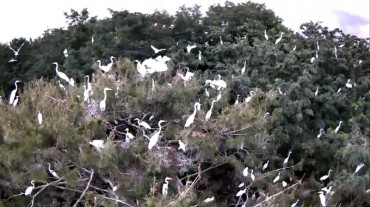 Flock of White Herons Wreaking Havoc in Gimhae