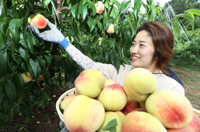 Peaches have been grown more as alternative crops since 2000, as the domestic cultivation of pears and grapes has decreased sharply. (image: Rural Development Administration)