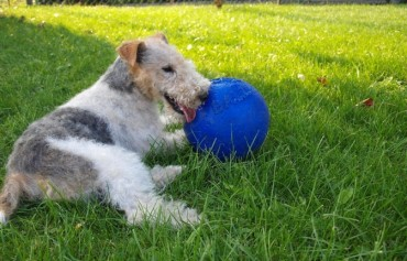 Gov't to Overhaul Animal Policy Following Fox Terrier Attack