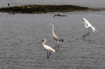 Incheon to Build Special Habitat on Songdo Coast to Protect Endangered Birds