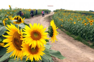 Gangju Sunflower Festival Kicks Off on Saturday