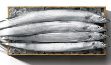 Cutlassfish Appear in East Sea as Temperatures Rise