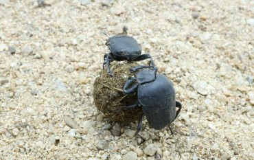 Gov't to Restore Scarabs and Other Endangered Species by 2027
