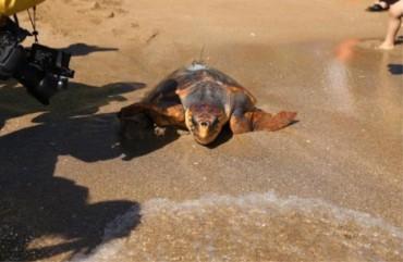 Released Sea Turtles Return to S. Korea After Spending Winter in Warmer Seas