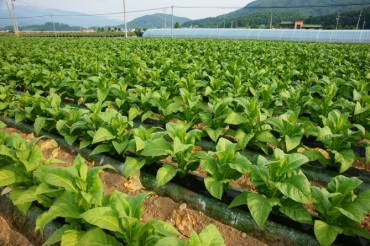 Tax on Tobacco Leaves Leads to Growing Imports of Stem and Root Extracts