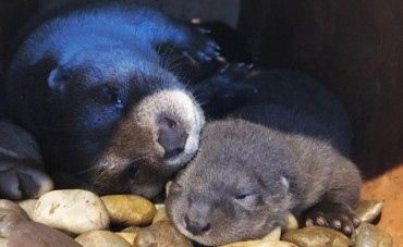 Three Baby Otters Born at Gyeongpo Aquarium