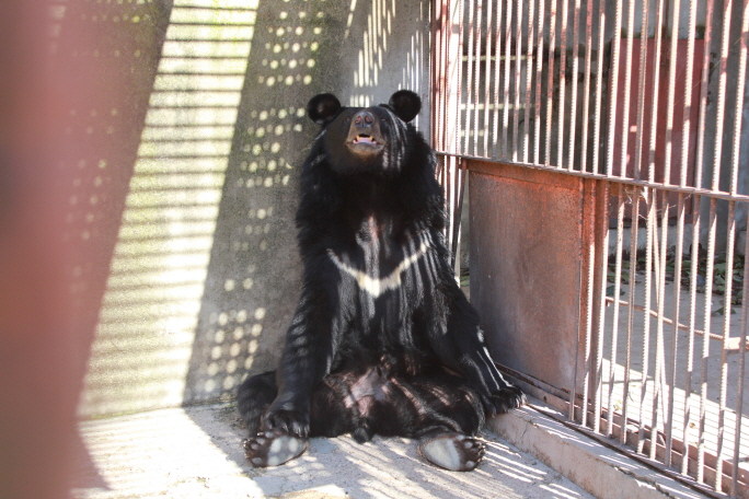 Dozens of Asiatic Black Bears Found in Cages at Illegal Breeding Farm