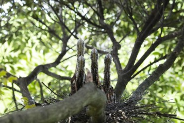 Endangered Japanese Night Herons Build Nest on Jeju Island
