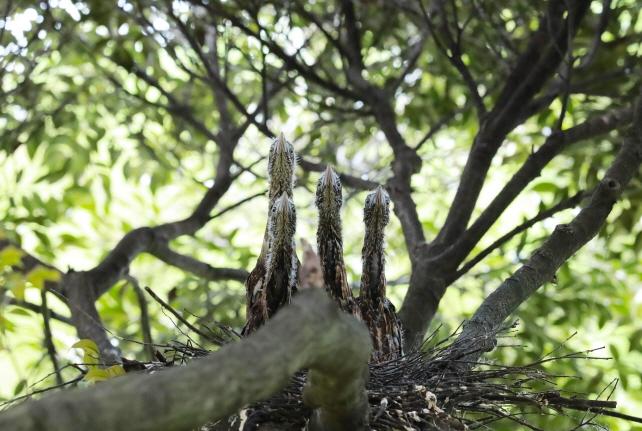 Endangered Japanese Night Herons Build Nest on Jeju Island