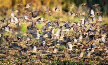 Flocks of Sparrows Attract Tourists at Changwon's Junam Reservoir