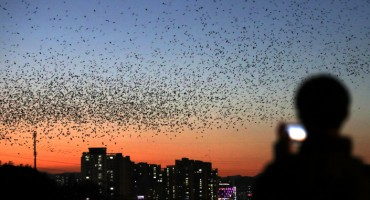 Rooks Visit River in Ulsan Around Oct. 15 Every Year