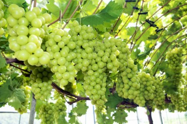 Chinese Demand Drives Increased Popularity of Korean Shine Muscat Grapes