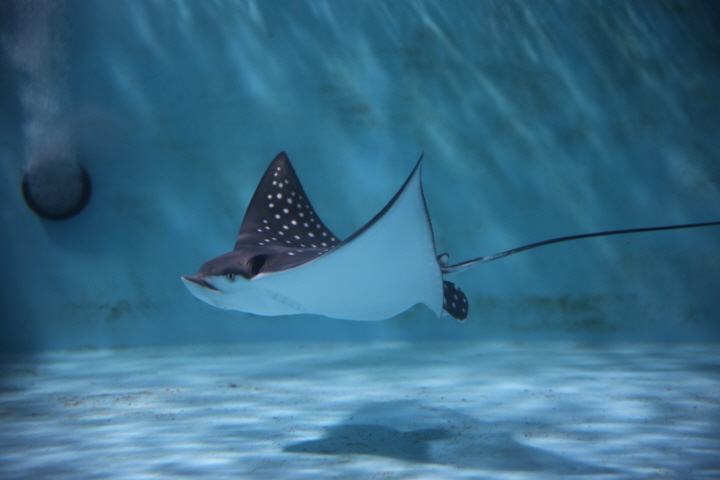 The stingray, which lives on the sandy floor of the sea, changes its fin movement continuously like a wave. (image: Hanwha Hotels & Resorts)