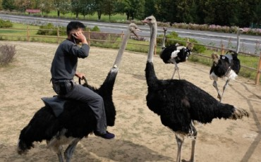 Ostriches Highly Valued in N. Korea