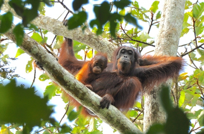 S. Korean Zoo Teams with Malaysian Center to Preserve Orangutans