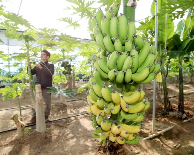 More Mangos and Olives Being Grown in S. Korea