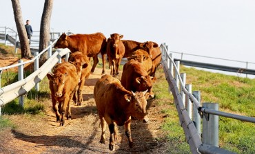 Number of Beef Cattle in S. Korea Hits All-time High in Q3