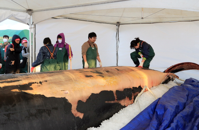 An autopsy is under way on the dead body of a 12.6-meter-long fin whale at Hallim port in Jeju on the southern resort island of the same name on Jan. 3, 2020, to determine the cause of death. (Yonhap)