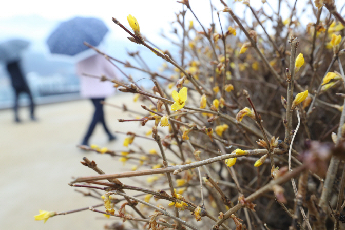 Spring flowers in blossom amid winter rain in Daegu, southeastern South Korea on Jan. 6, 2020. (Yonhap)