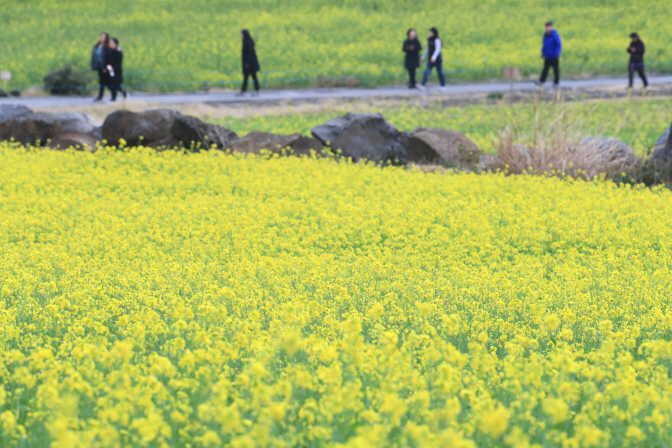Jeju Island to Plow Up Canola Flowers to Fend Off Tourists