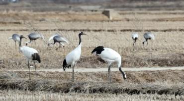 Cranes Flock to Cheorwon Plain