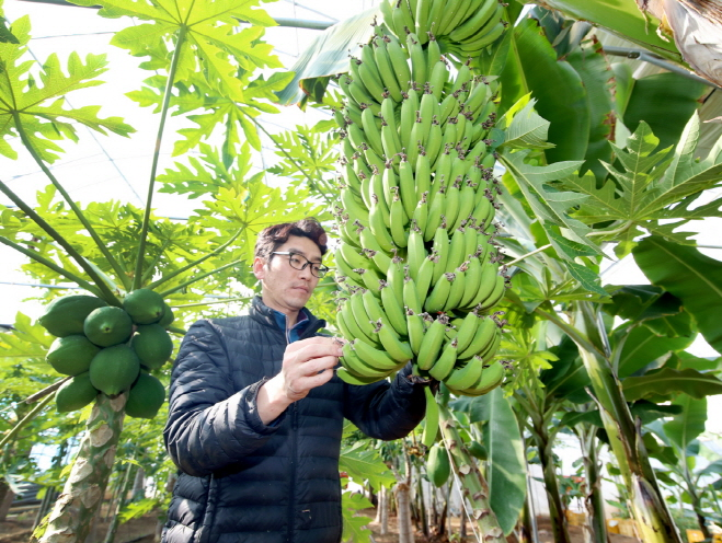 Anmyeon Island Farm Pioneers Tropical Fruit Horticulture in S. Korea