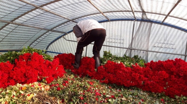 Farmer Kang Jae-hee discards roses at his farm in Miryang, South Gyeongsang Province, on Feb. 4, 2020, as bids for flowers were recently voided due to the cancellation of a number of events amid the escalating coronavirus crisis. (Yonhap)