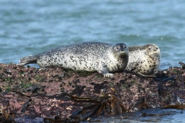 AI Program Helps to Identify Spotted Seals
