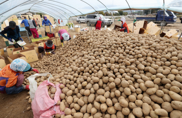 Gangwon Province is the largest producer of potatoes in South Korea. (Yonhap)
