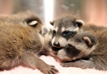 S. Korea Introduces Strict Requirements to Import Raccoons