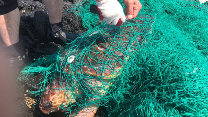 A sea turtle caught in abandoned net